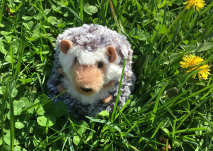 C Hedgehog in Grass